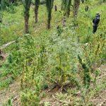 marihuana plantación