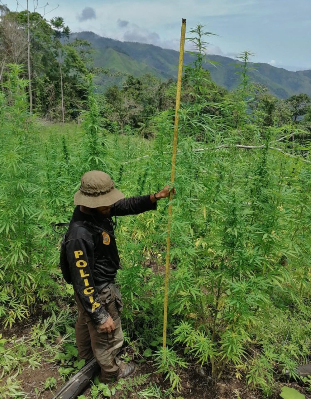 Dlcn erradica plantación de marihuana en Colón