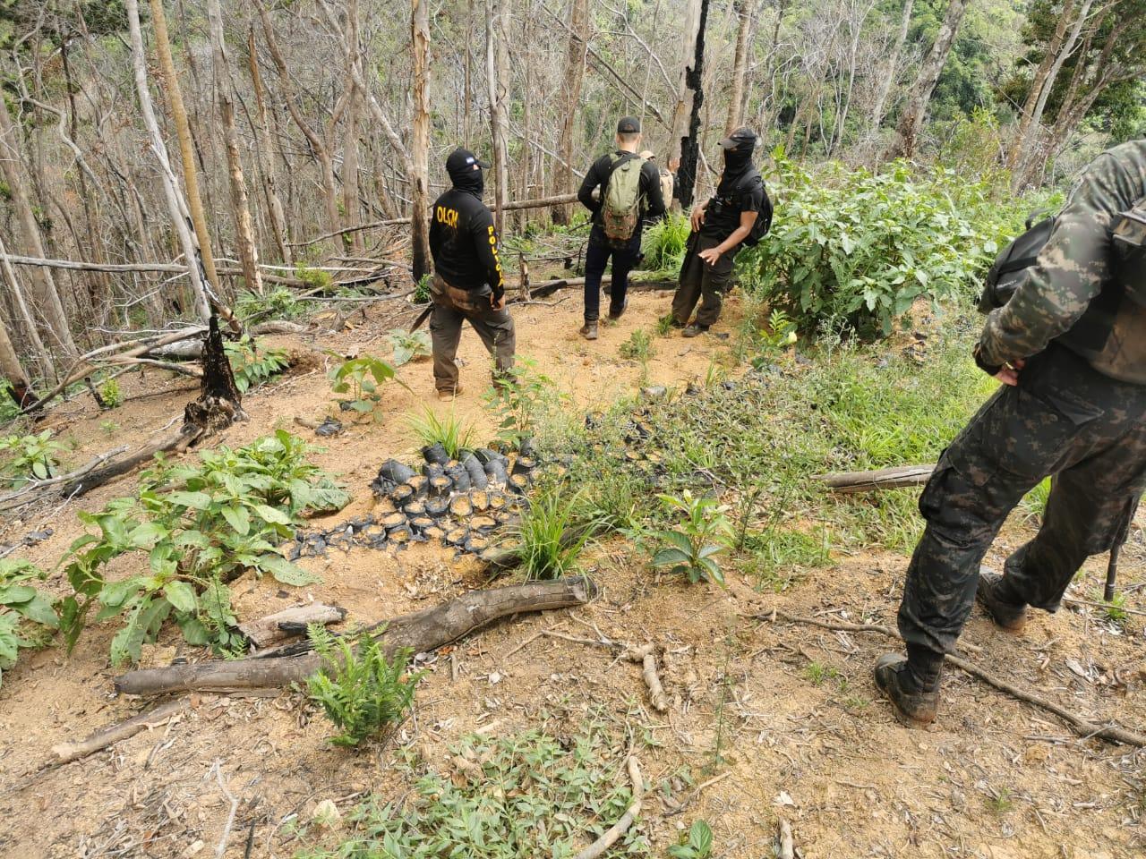 DLCN y navales descubren vivero de arbustos de coca en Iriona
