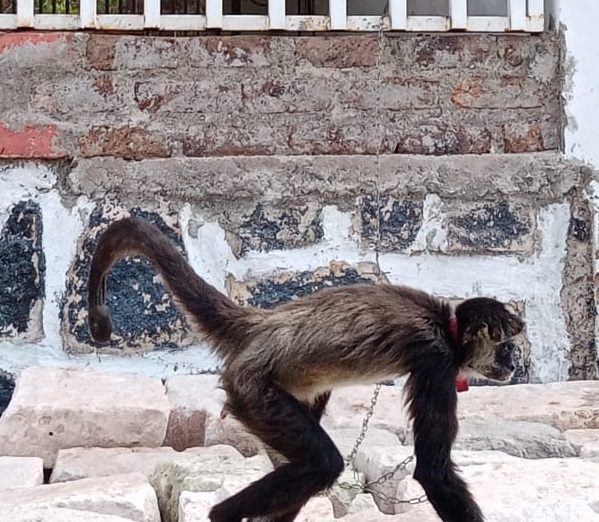 dos mono arañas son rescatados