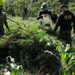 Dirección de Lucha Contra el Narcotráfico DLCN erradicasembradío de Marihuana en Colón Colón